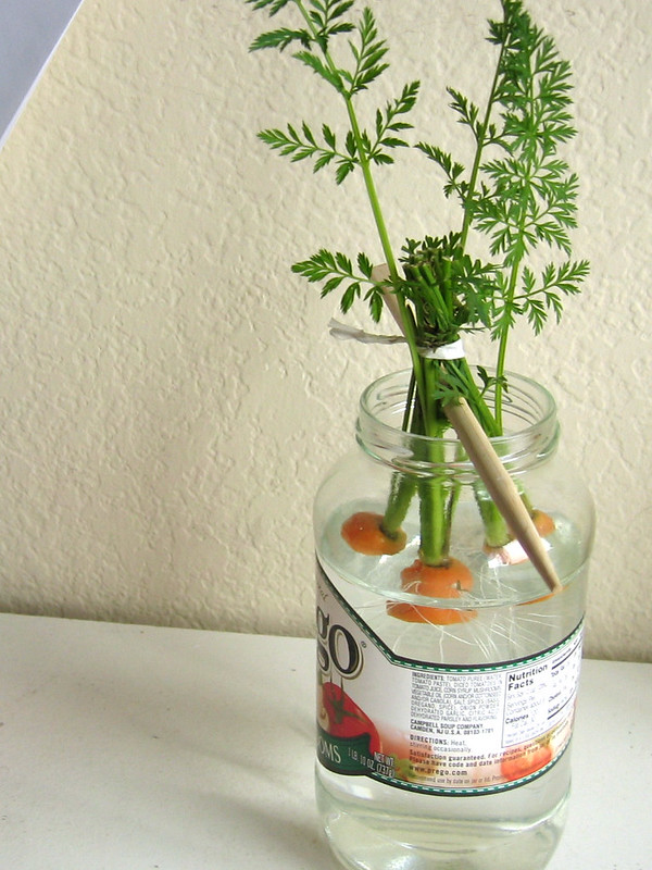 Carrot tops growing in jar of water. It has green stems and leafy leaf fronds.