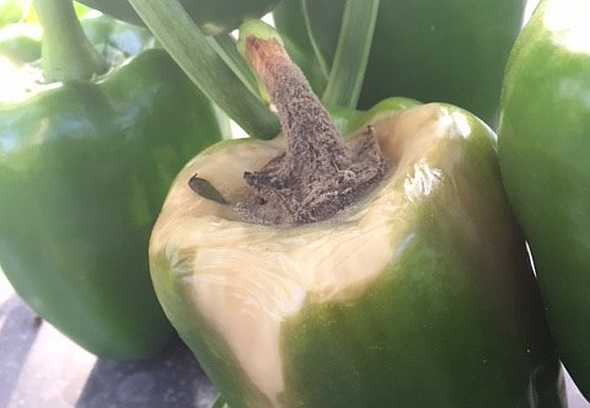 Gray mould on a green pepper, also known as a green capsicum.