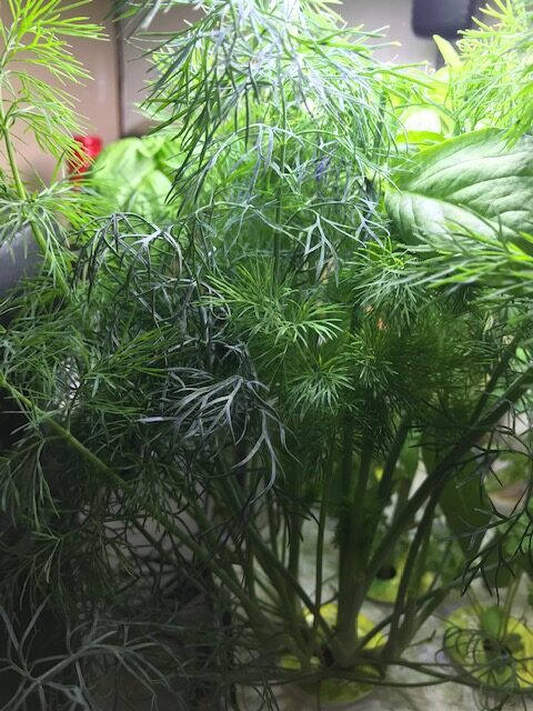 All About Dill the Herb