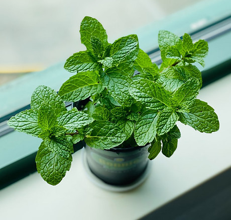 Indoor Mint in a pot on the window sill