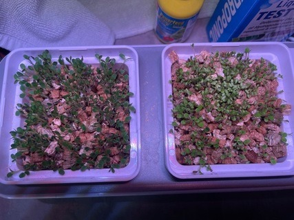 Lettuce seeds sprouting in pots
