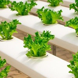 Lettuce growing in water in a hydroponic system.
